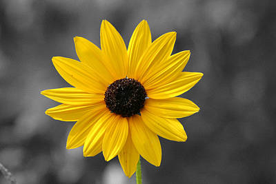 Photograph - Black Eyed Susan by Pete Federico