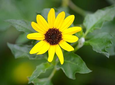 Photograph - Black Eyed Susan by Richard Bryce and Family