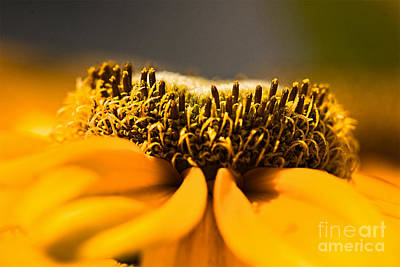 Black Eyed Susan Setting Seed Art Print