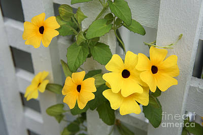 Photograph - Black-eyed Susan Vine by John  Mitchell