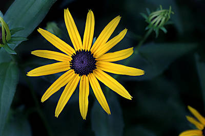 Photograph - Black-eyed Susan by William Tanneberger