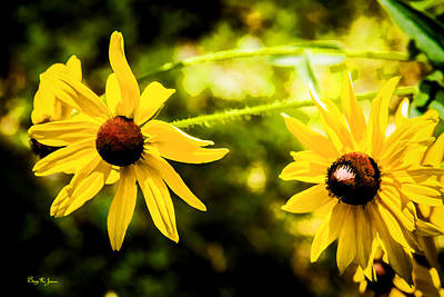 Photograph - Flower - Floral - Black Eyed Susans by Barry Jones