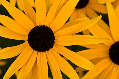 Photograph - Black Eyed Susans by Brent L Ander