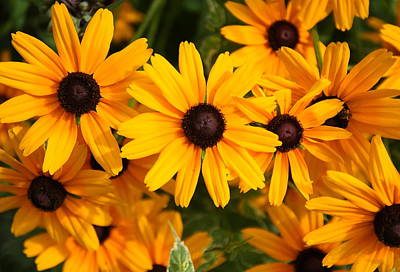 Photograph - Black Eyed Susans by Coby Cooper