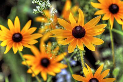 Photograph - Black-eyed Susans by Dawn J Benko
