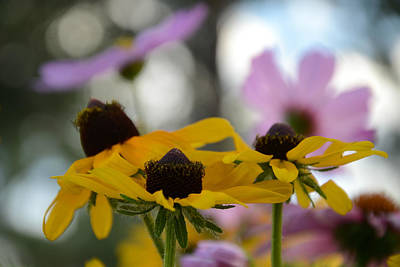 Photograph - Black-eyed Susans In Focus by Dakota Light Photography By Dakota
