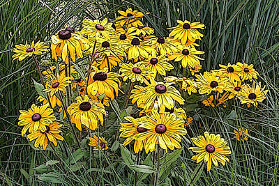 Photograph - Black-eyed Susans In The Grass by Rob Huntley