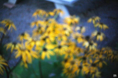 Photograph - Black Eyed Susans by John Meader