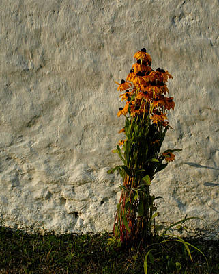 Photograph - Black Eyed Susans by Michael Kirk
