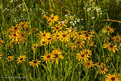 Black Eyed Susans Art Print by Paul Herrmann