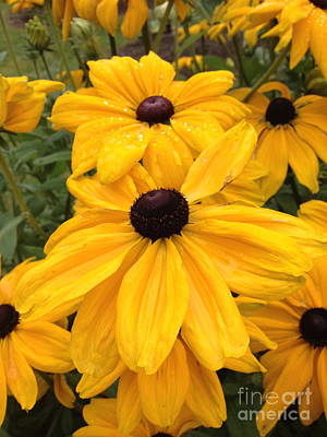 Photograph - Black Eyed Susans by Barbara Von Pagel