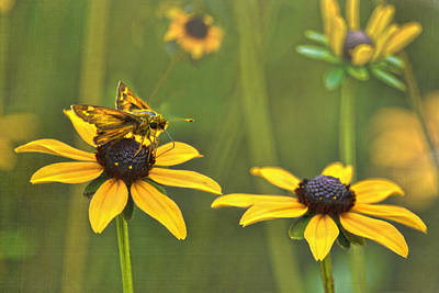 Photograph - Black Eyed Susans Visitor by Sandi OReilly