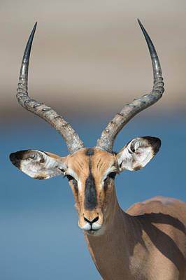 Black-faced Impala Aepyceros Melampus Art Print