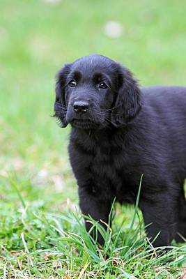 Photograph - Black Flat Coated Retriever Puppy In Grass by Dog Photos