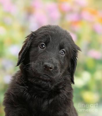 Black Flat Coated Retriever Puppy Art Print