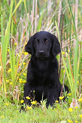 Photograph - Black Flat Coated Retriever Puppy Sitting In Reed by Dog Photos