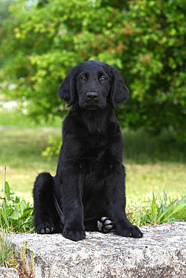 Photograph - Black Flat Coated Retriever Puppy Sitting On A Stone by Dog Photos