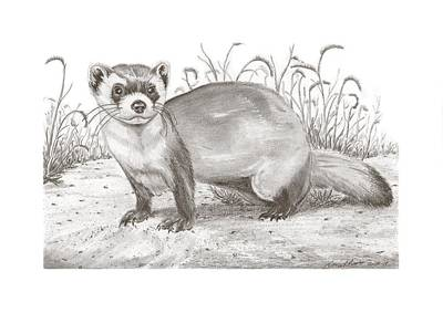 Black-footed Ferret Drawing - Black-foot Ferret by Gary Pritts