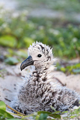 Albatross Photograph - Black-footed Albatross / Phoebastria by Daisy Gilardini