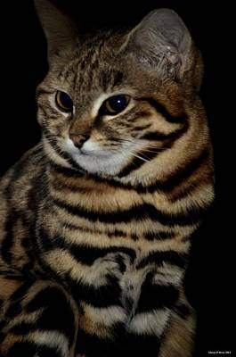 Black-footed Cat Print by Maria Urso
