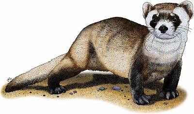 Black-footed Ferret Art Print by Roger Hall