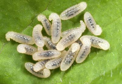 Black Garden Ant Larvae Print by Nigel Downer