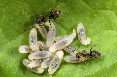 Ant Photograph - Black Garden Ants Carrying Larvae by Nigel Downer