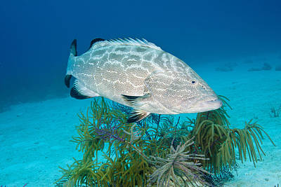 Black Grouper Art Print by Andrew J. Martinez