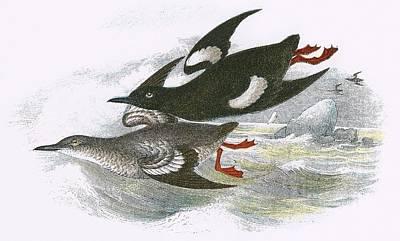 Black Bird.flying Art Painting - Black Guillemot by English School