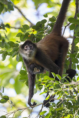 Osa Wall Art - Photograph - Black-handed Spider Monkey And Infant by Suzi Eszterhas