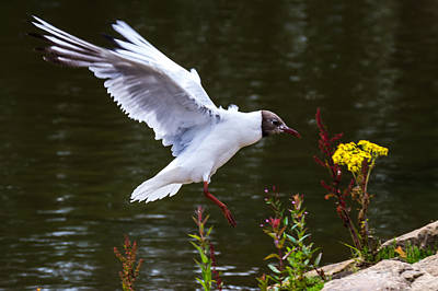 Photograph - Black Head Gull - Preparing For Landing by Scott Lyons