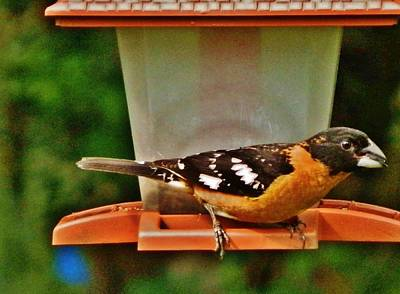Photograph - Black-headed Grosbeak by VLee Watson