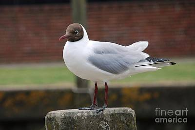 Photograph - Black Headed Gull by David Fowler