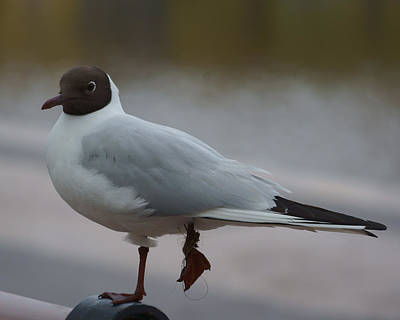 Photograph - Black-headed Gull by Evgeny Lutsko