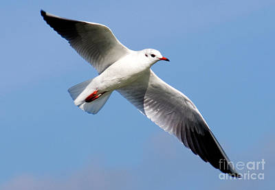 Id Tag Photograph - Black-headed Gull by Tim Holt