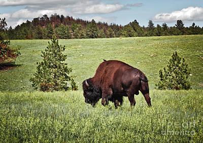 Buffalo Photograph - Black Hills Bull Bison by Robert Frederick
