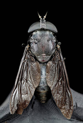 Bite Photograph - Black Horse Fly by Us Geological Survey