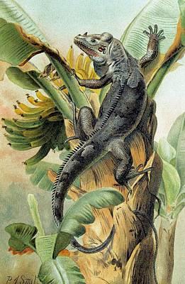 Iguana Wall Art - Photograph - Black Iguana by George Bernard/science Photo Library