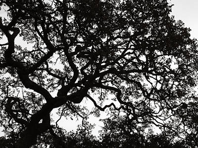 Photograph - Black Jack Oak Tree by Marilyn Hunt