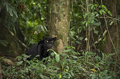 Black Jaguar Yasuni Np Ecuador Art Print by Pete  Oxford