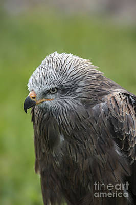 Photograph - Black Kite 1 by Arterra Picture Library