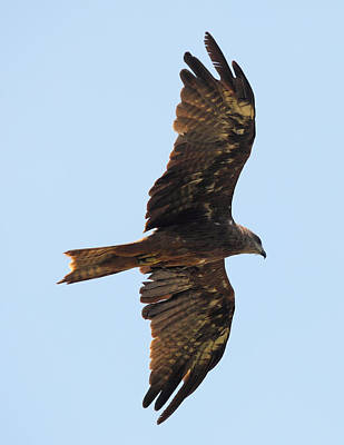 Photograph - Black Kite In Flight From Below by Paul Cowan