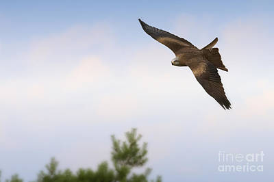 Photograph - Black Kite In Flight by Nick  Biemans
