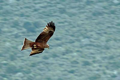 Photograph - Black Kite by Tony Murtagh