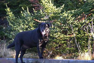 Dappled Light Photograph - Black Lab In Dappled Light by Barbara Griffin