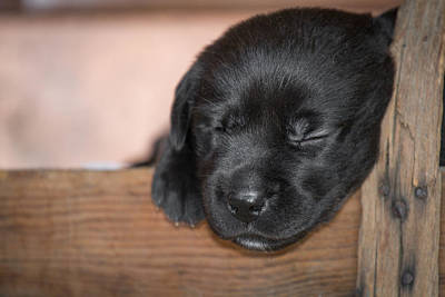 Black Lab Puppy Sleeping Original