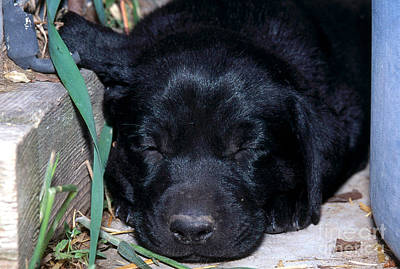 Lab Pup Photograph - Black Lab Puppy Sleeping by William H. Mullins