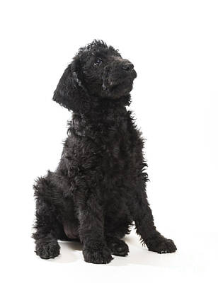 Hollywood Style - Black Labradoodle by Gord Horne