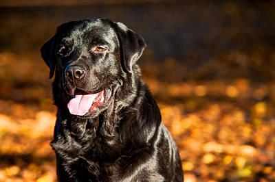 Black Labrador Retriever In Autumn Forest 2 Print by Jenny Rainbow