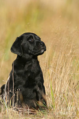 Photograph - Black Labrador Retriever Puppy Sitting In Grass by Dog Photos